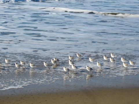 [Photo : Oiseaux Snowy Plover sur la plage]