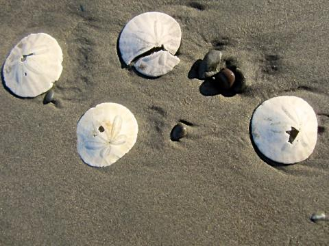 Photo : coquillages Sand Dollars sur la plage